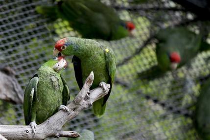 mexico parrots