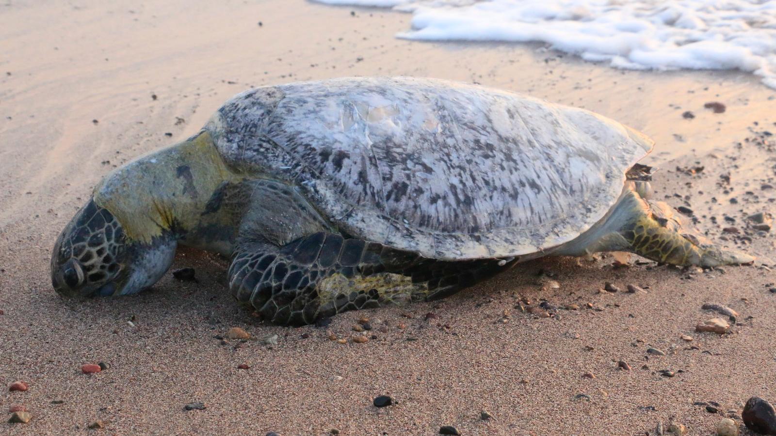 dead turtle puerto vallarta