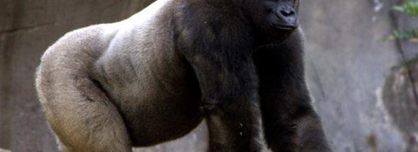 Bantu the gorilla