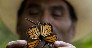 6.2 million Monarch Butterflies killed by storms in Mexico