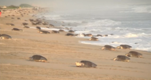 Nesting endangered marine turtles have arrived in Mexico