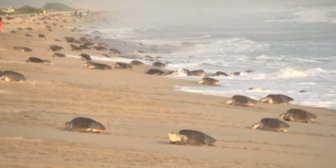 endangered-sea-turtles-lay-eggs-on-mexican-beach-reuters