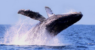 First Humpback Whale sightings of the season in the Riviera Nayarit