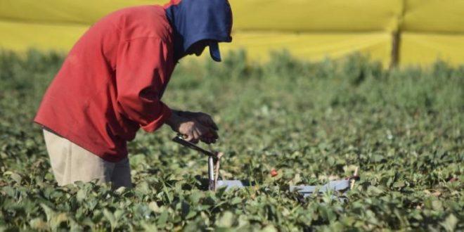 A farmworker picks strawberries at a farm in the town of San Quintin, Baja California March 25, 2015. REUTERS/Rafael Blancas
