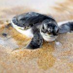 sea turtles puerto vallarta