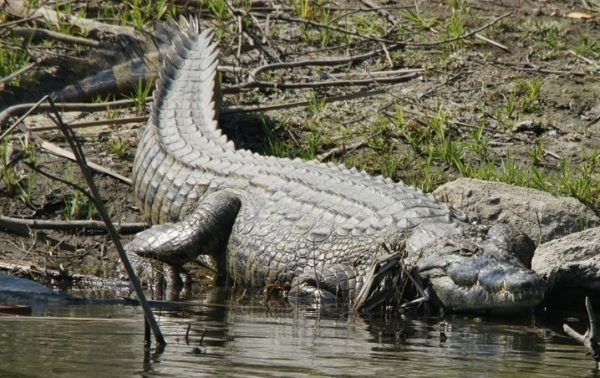Quintana Roo, first state to work with Ranching Protocols for the swamp crocodile in Mexico