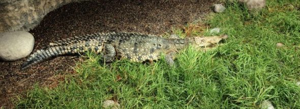 crocodile puerto vallarta