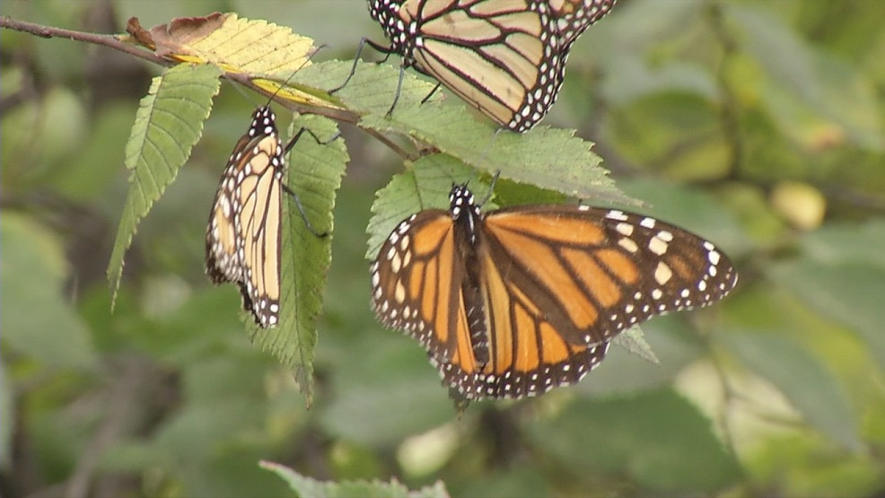 Monarch butterflies fluttering around the Big Country on their way to Mexico