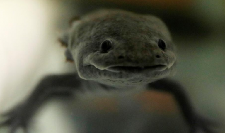 Genetics Plays Outsized Role In Autism >> Mexico S Axolotl A Cartoon Hero And Genetic Marvel Fights For Survival