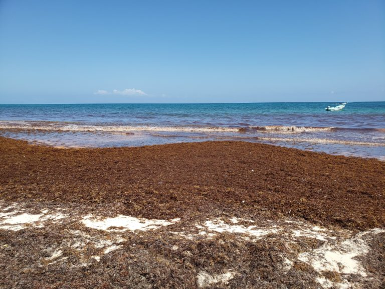 Sargassum in Quintana Roo is helping to drive tourism to