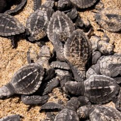 Puerto Vallarta prepares to receive and care for more than 130 thousand turtles