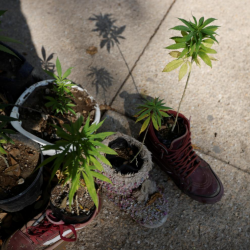 Mexico publishes medicinal cannabis regulation, creating new market